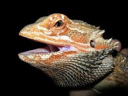 free photo reptile scale lizard animal orange bearded dragon max
