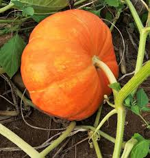 Local Pumpkin Farms In Nj by N J Pumpkin Picking 2016 20 Places To Pick Straight Off The Vine