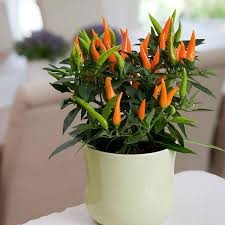 santos orange ornamental pepper