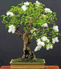 the word bonsai is derived from two characters meaning a