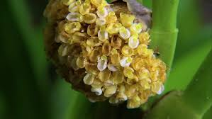 Flower Of Orchid - yellow flowers of great mullein verbascum thapsus the plant