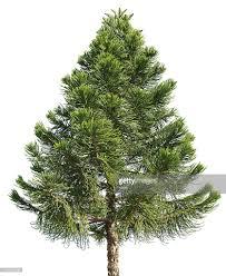 araucaria pine tree isolated on white background stock photo
