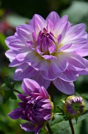 Pretty Plants by 642 Best Dahlias Images On Pinterest Flowers Garden Flowers And