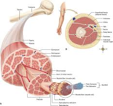anatomy of the muscular system basicmedical key