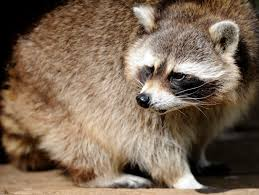 raccoon cbs detroit