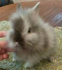 lion heads for sale teddy is an adoptable lionhead rabbit in lewisville tx teddy is