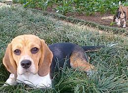 belgian shepherd rescue south africa amden breeders of beagles u0026 malinois belgian shepherds homepage