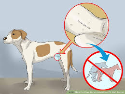 american pit bull terrier website 4 ways to care for an american pit bull terrier wikihow