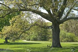 a large old oak tree part of the beautiful landscape at the
