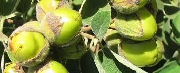 What Fruit Trees Grow In Texas - texas wild olive white geiger anacahuita cordia boissieri