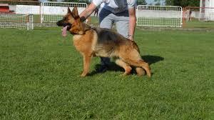 belgian sheepdog breeders pa blista jakhouse youtube