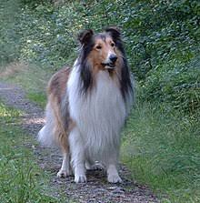 bearded collie mdr1 rough collie wikipedia
