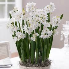 holiday garden gifts u0026 decor how to force bulbs indoors it u0027s