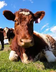 for cattle producers kentucky is cow country kentucky farm bureau