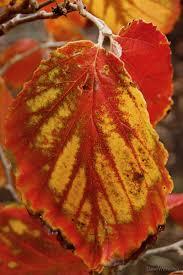 fidalgo island light hamamelis mollis x japonica