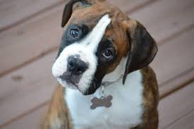 boxer dog tail docking boxer puppy guide what are the characteristics of a boxer puppy