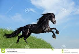 Black Horse Mustang Black Horse Playing On The Field Stock Image Image 18064401