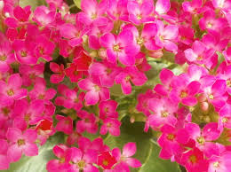 Pretty Plants by Plants Are The Strangest People Pretty Pictures Kalanchoe
