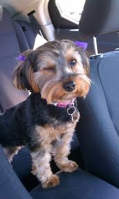 hair accessories for yorkie poos 37 best yorkies images on pinterest baby dogs cubs and doggies