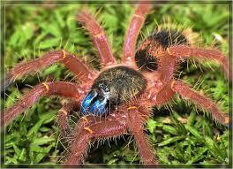 sareptiles view topic starter tarantula