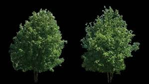 2 blowing on the wind beautiful green size trees isolated on