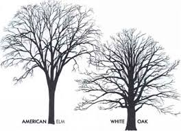 White Oak Tree Drawing Tree Silhouettes Small Tree Medicinal Plants Archive