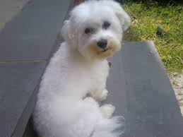 the havanese dog breed has won numerous admirers with his extended