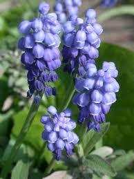 small blue bulbs broadleigh gardens
