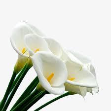 calla flower white calla flower bouquet white calla bouquet png image