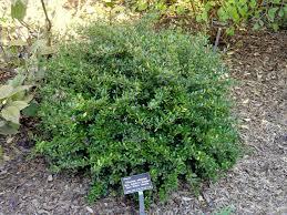 native plants of alabama viburnum obovatum diy