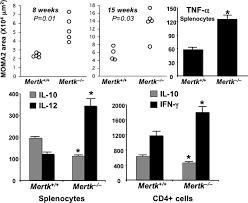 defective mer receptor tyrosine kinase signaling in bone marrow