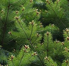 douglas fir tree for sale fast growing trees