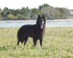 belgian sheepdog laekenois blackforest belgian sheepdogs groenendael u2013 we breed family dogs