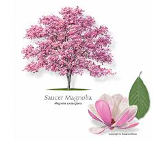 magnolia tree meaning the meaning of the in which you saw