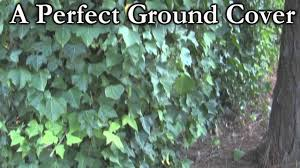 english ivy vines hedera helix fast ground cover vines youtube