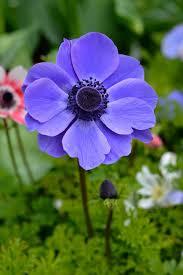 anemone flowers anemone de caen mr fokker dutchgrown