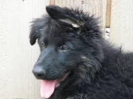 belgian sheepdog groenendael rescue previous litter pics