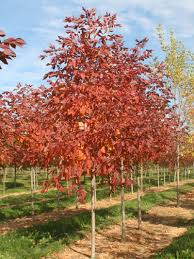 fast growing shade trees and ornamental trees trees for sale