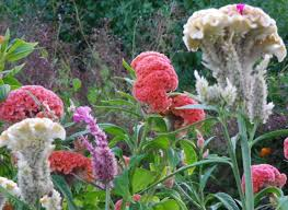 cockscomb flower celosia cockscomb mix 0 2 g southern exposure seed exchange
