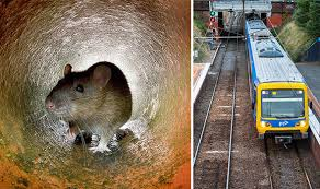habitat siege australia rat plague melbourne overrun with rodents following