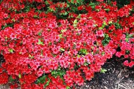 Flowering Shrubs New England - roses are red and others too holliston reporter