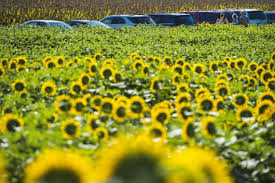 salina ks sunflower field by kansas state university sunflower fields of grinter farms in kansas are huge tourist draw