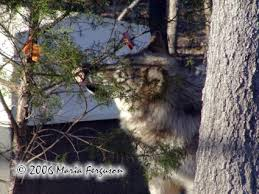 wolf and tree photo