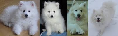 american eskimo dog vs pomeranian breed information cosmo show