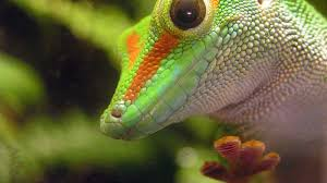can a gecko stick to teflon science finds the answer cnet