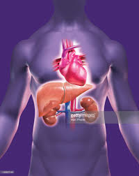 Human Anatomy Liver And Kidneys A Translucent Male Torso With The Heart Liver And Kidneys Stock