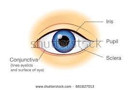 Surface Anatomy Eye Anatomy Human Eye Front View External Stock Vector 674800906