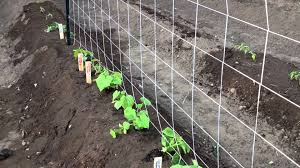 growing cucumbers vertically youtube