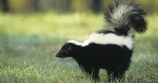 skunks more horrifying than halloween