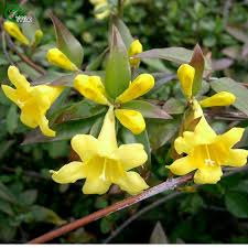Fragrant Night Blooming Plants - aliexpress com buy cestrum nocturnum seeds night blooming
